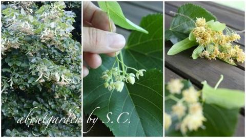 Profumo d estate aboutgarden for Tiglio albero