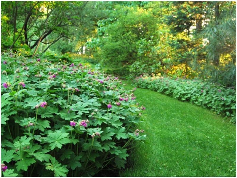 Piante tappezzanti geranium macrorrhizum aboutgarden - Piante da giardino ombra ...