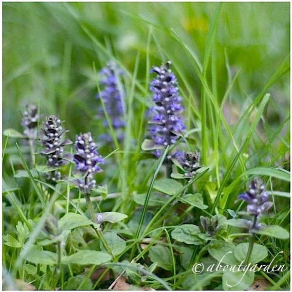 La bella tappezzante dai fiori blu aboutgarden for Pianta fiori viola