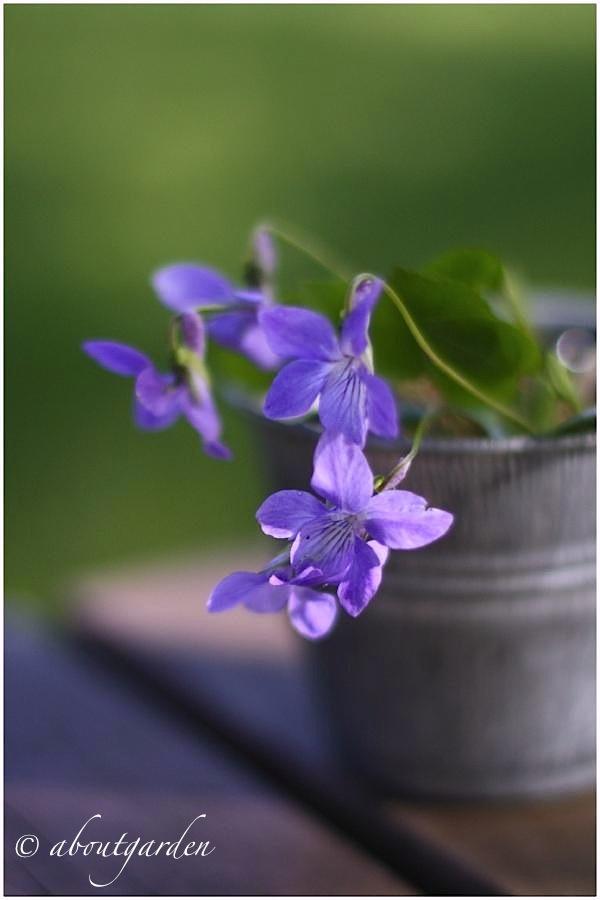 Piante tappezzanti aboutgarden - La finestra viola ...