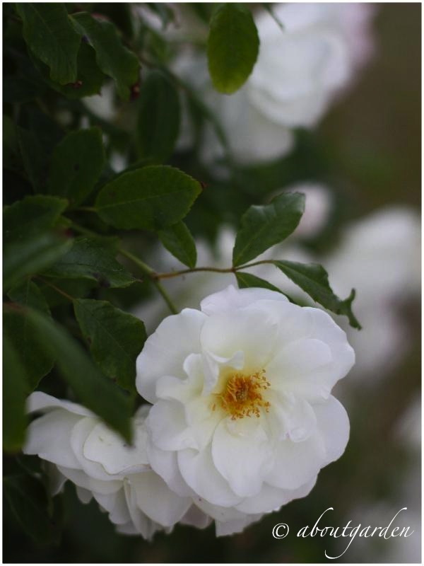 Tre rose in bianco aboutgarden for Rosa iceberg