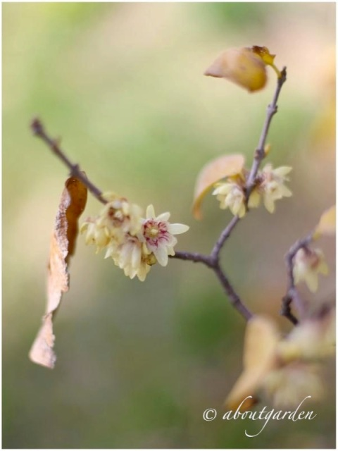 Chimonanthus fragrans