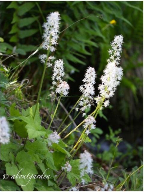 Tiarella cordifolia .