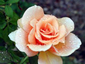 Audrey Hepburn rose