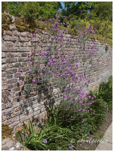 Erysimum at Sissinghurst Castle