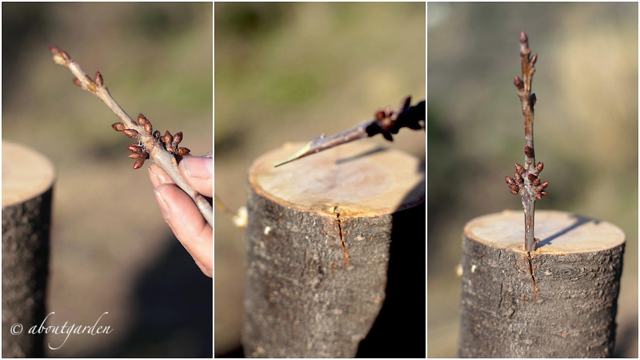 Diy innesto a corona su albero da frutto aboutgarden - Calendario trattamenti piante da frutto ...