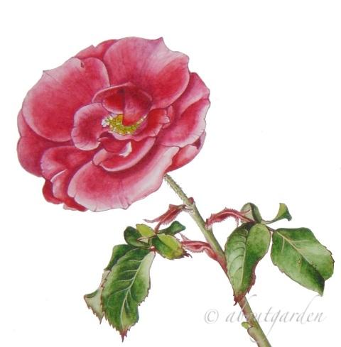 rosa sevillana S. Chiarugi