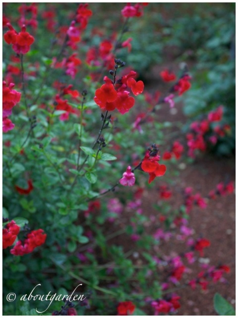 Salvia microphylla hot lips