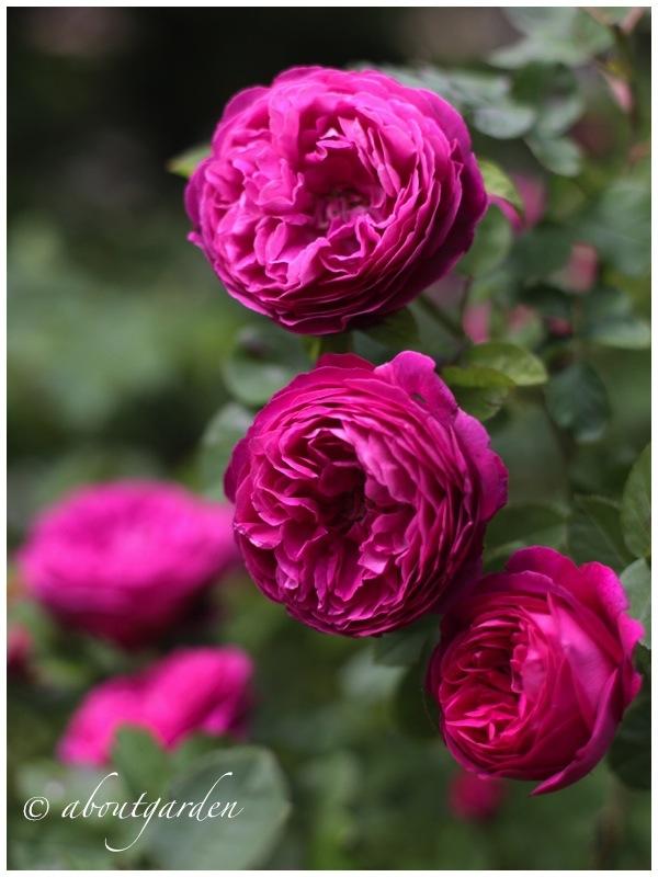 Fiori Simili Alle Rose Nome.72 Fantastiche Immagini Su Roses Fiori Bellissimi Fiori E