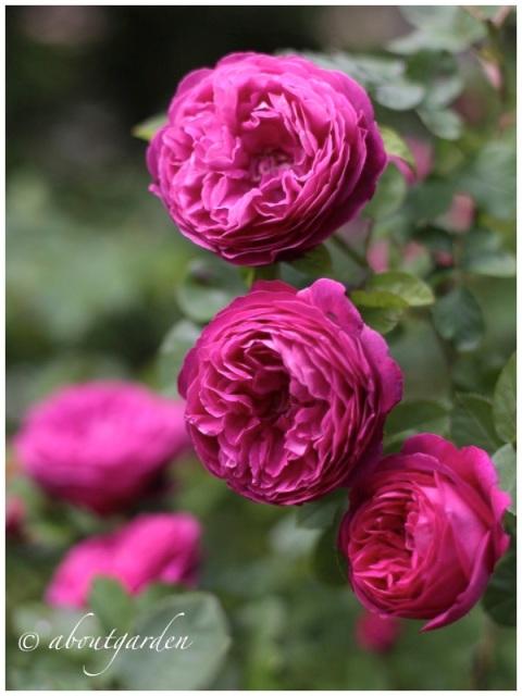 Rose sciroppo S.C.
