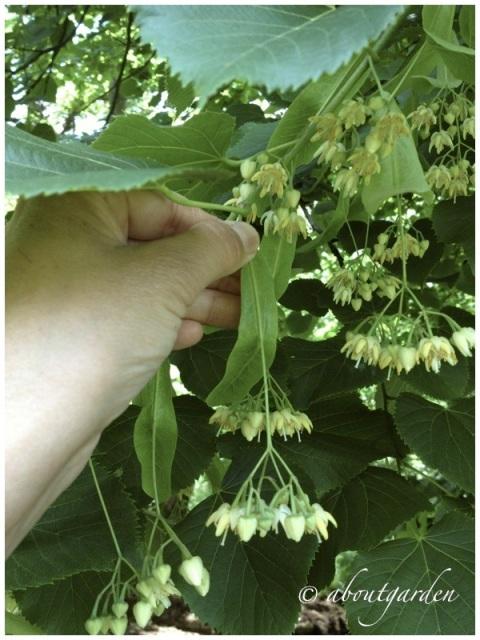 raccolta fiori di tiglio