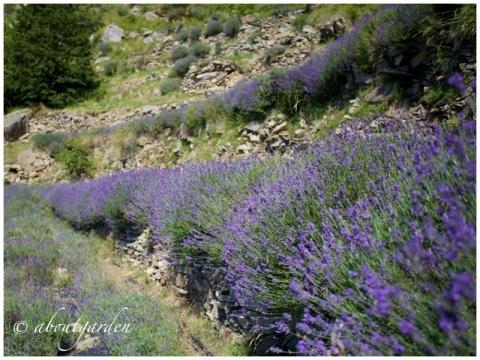 Drego lavender