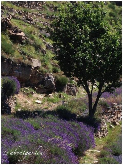 lavender officinalis