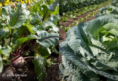 old variety vegetable