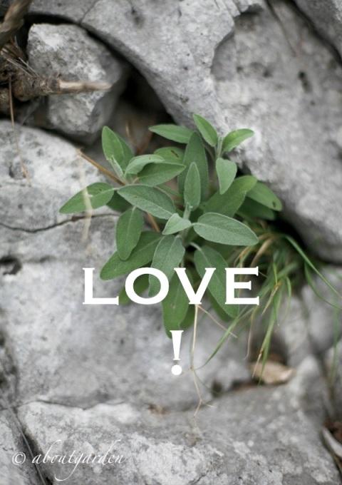 Salvia officinalis del Carso