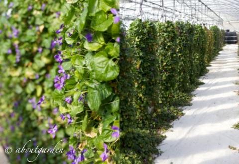 coltivazione violette