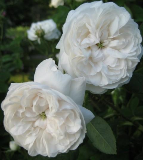 Rosa_centifolia_Blanchefleur_lb