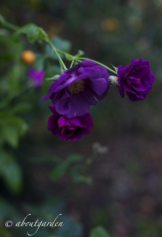 Rosa 'Rhapsody in Blue