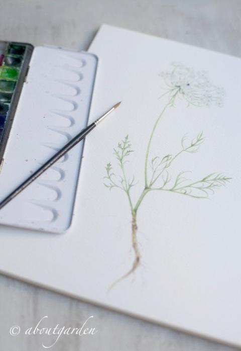 acquarello botanico carotina selvatica