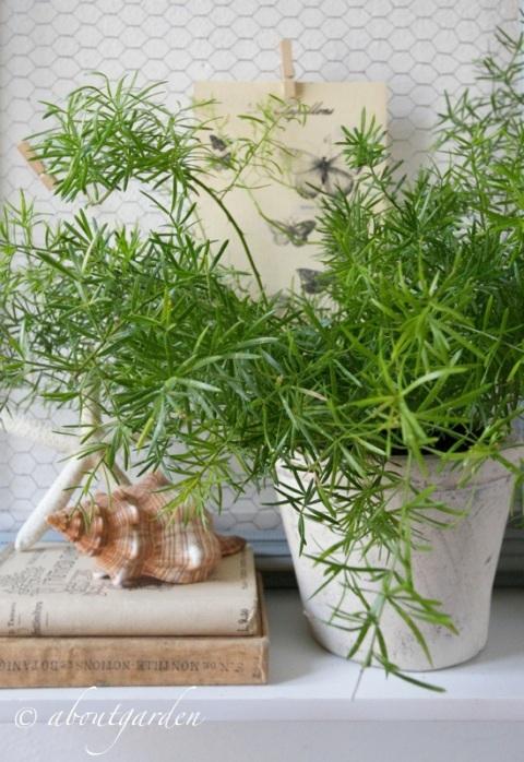 Asparagus densiflorus 'Sprengeri