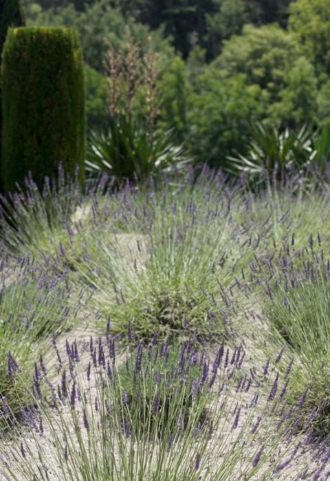 lavanda jardin La Louve