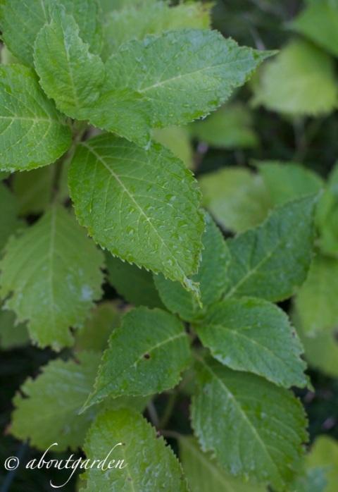 danni su foglie oziorrinco