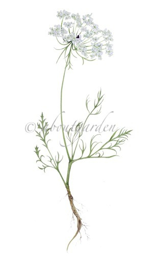 botanic-watercolor-wild-carrot
