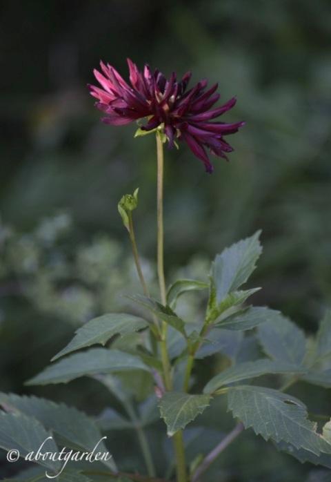 Dalia fiore rosso scuro
