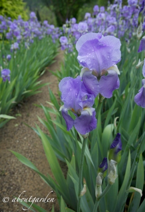 Iris germanica  Val Joanis