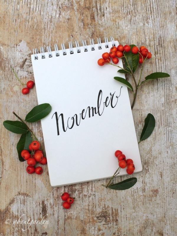 novembre pyracantha