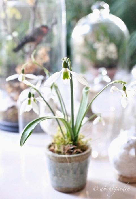 galanthus in vaso