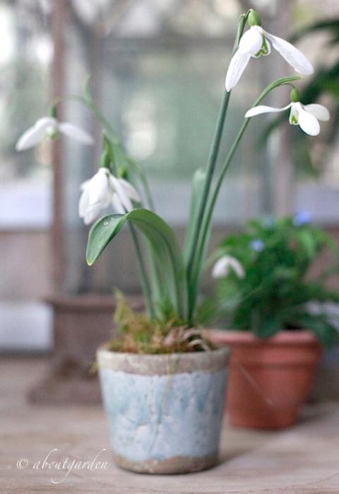 galanthus varietà