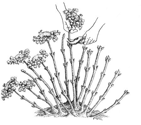 Hydrangea-being-pruned-450-pixels-for-web1