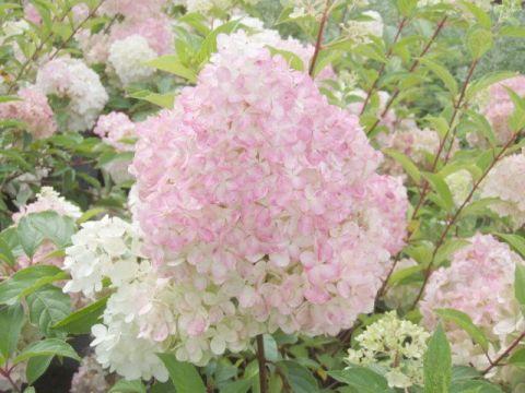 Hydrangea-paniculata-Vanille-Fraise-Rispenhortensie-Vanille-Fraise-