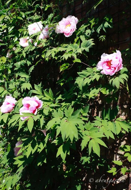 Piante perenni aboutgarden pagina 4 - Nascondere griglia giardino ...