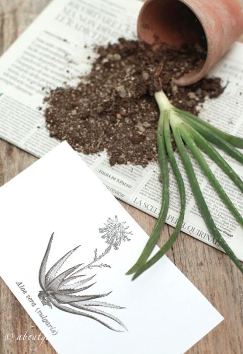 aloe e stampa botanica
