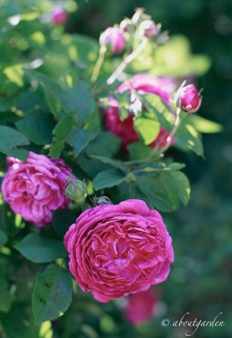 rosa centifolia mia