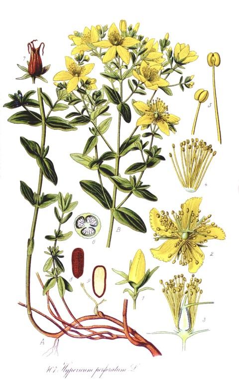 Iperico tavola botanica