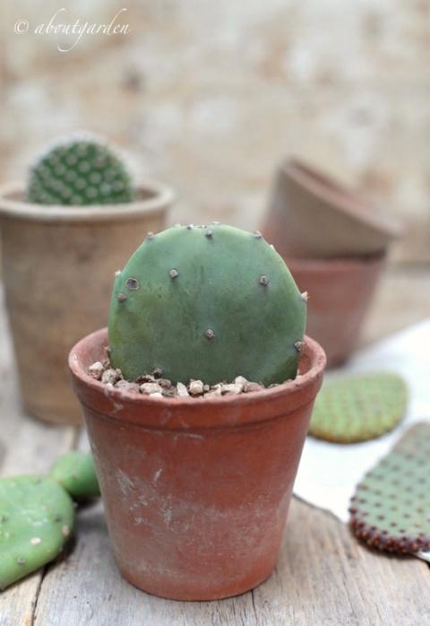 talea di cactus