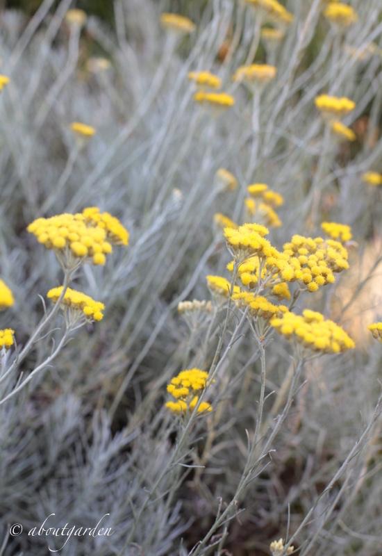 Fiori Gialli Macchia Mediterranea.Antitarme Naturale Con L Elicriso Aboutgarden
