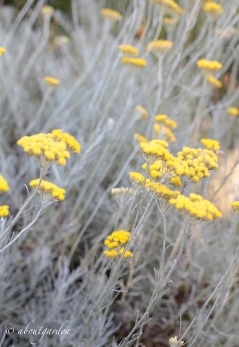 elicriso plant