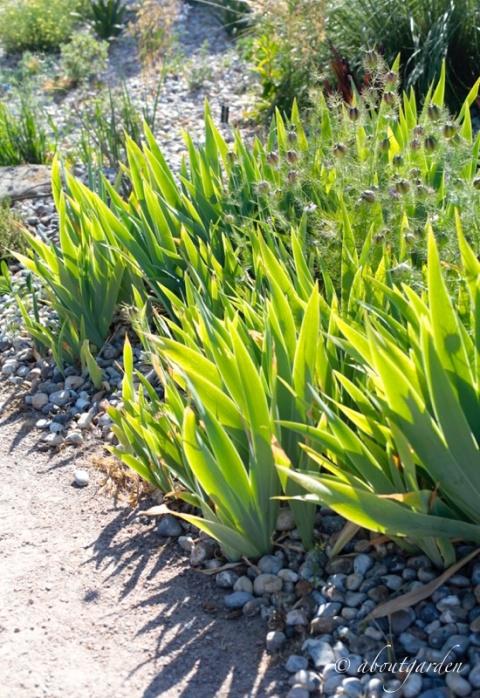 Iris in dry garden