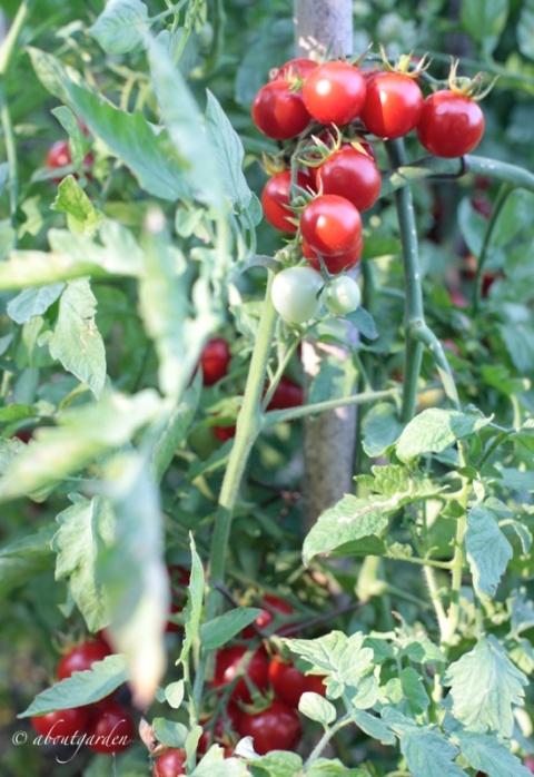 pomodori semenza