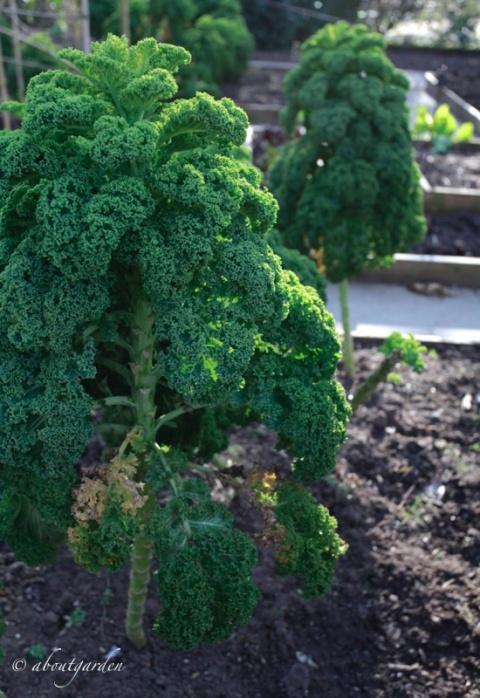 cavolo Kale