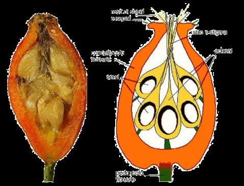 cinorrodo-schema-2