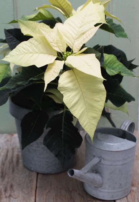 Come Mantenere Stella Di Natale.Come Conservare Gli Steli Recisi Della Stella Di Natale Aboutgarden