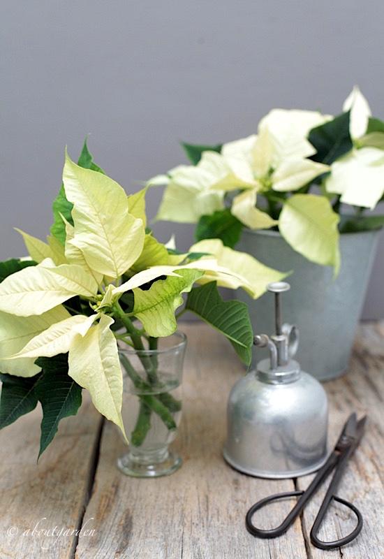 Stella Di Natale Pianta Come Mantenerla.Come Conservare Gli Steli Recisi Della Stella Di Natale Aboutgarden