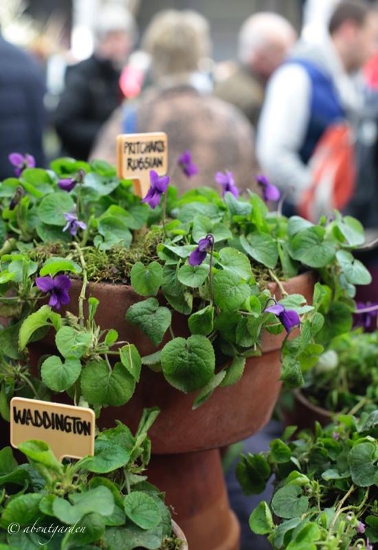 violette selezione