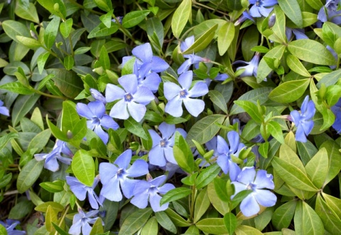 Vinca minor 'Bowles Variety'.jpg