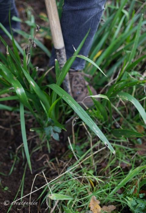 zollatura iris